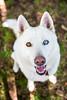Salt (Gertrude139) Tags: dog white love smile happy husky salt siberianhusky sibe bieyed