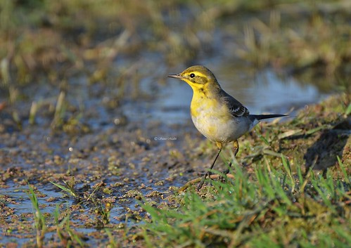Citrine Wagtail or Yellow-headed Wagtail (Motacilla citreola)