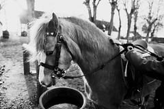 Jucy (vesterskov) Tags: horses blackandwhite bw horse white black barn race training photography photo foto ride walk daniel sony slide og riding stop f western 28 mm trav sh stable sort f28 odense trot dt slt ssm hest hvid fotografi a77 horsemanship 1650 fyens heste galop travbanen sortoghvid travbane stald 1650mm vddelbsbane hestevddelb vesterskov slta77 vddelb slta77v a77v slta77vq a77vq 281650 trninghorerace