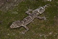 Wyberba Leaf-tailed Gecko (Saltuarius wyberba) (Gus McNab) Tags: wyberba saltuarius