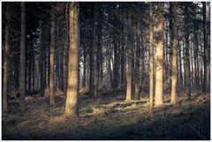 Afternoon light (derScheuch) Tags: trees light sun grass zeiss forest 35mm licht sony carl gras f2 sonne wald bume nex biogon 5n wildenloh