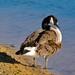 Cackling Goose DSC_2286