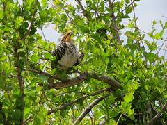 IMG_1665 (Marko_J_Aho) Tags: bird southafrica kruger 4star southernyellowbilledhornbill afrikka2013 phalaborwaletabaroad