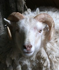 Handsome Aries (A Really Small Farm) Tags: wool sheep handsome horns ram shetland aries shetlandsheep handsomearies garywalton handsomeram proudram sereneram