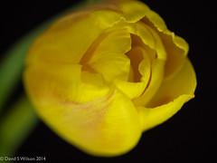 Tulip Yellow (David S Wilson) Tags: uk flowers england flower ely fens 2014 flowersplants davidswilson lightroom5 olympusomdem5 leicadgmacroelmarit12845asphlens