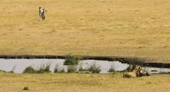 Learning... (xhunter83) Tags: africa naturaleza nature tanzania wildlife lion ngorongoro leon zebra wildanimal cebra vidasalvaje abigfave blinkagain