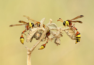 Potter Wasp Sleeping