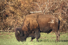 American Bison (Lindell Dillon) Tags: from buffalo raw wildlife single dillon bison hdr lindell wichitas