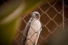 Gavio-de-cauda-branca (Buteo Albicaudatus) (Jeferson Felix D.) Tags: bird nature animal animals canon eos eagle natureza sparrowhawk gavio aguia 18135mm 60d canoneos60d