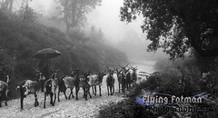 The herder (robb.wallace) Tags: blackandwhite mist portugal rain fog sheep horns atmosphere goat algarve herd hearder