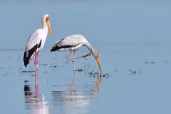 Tranquility  (Explore 14 June 2014) (Duncan Blackburn) Tags: bird nature nikon wildlife ngc npc botswana chobe kasane yellowbilledstork abigfave avianexcellence coth5 sunrays5