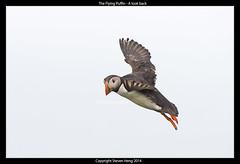 The Flying Puffin - A look back (heng.steven) Tags: scotland nikon puffin birdsinflight shetland seabirds bif tc14eii atlanticpuffin nikond4 70200mmf28vrii