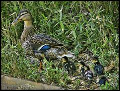 (Dorron) Tags: park parque duck nikon san sebastian cristina country pato basque urko vasco euskadi donostia pais gladis guipuzcoa gipuzkoa euskal herria enea parkea sagasti dorronsoro dorron ahatea d3s