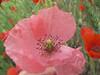 Amapola en rosa (jacilluch) Tags: pink flower macro fleur flor blossoms rosa poppy rosella silvestre coquelicot poppys amapola papavero cornpoppy papoula gineceo encarnado ababol mitxoleta papuela rossopapavero amapolarosa amapolacomun