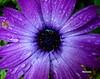 Lágrimas (verridário) Tags: lagrimas flor flower fleur gotas sony natura flora naturaleza nature natureza macro water pianto tears tränen gözyaşı слезы larmes çiçek цветок blume 꽃 花 λουλούδι planta