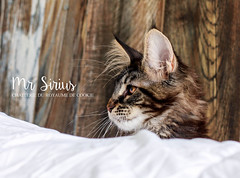 Mr Sirius (Kiky) Tags: chat cat sirius maine coon mainecoon aventure royaumedecookie cookie reims lachapellemonthodon pet animal kitten chaton nuclation oeil