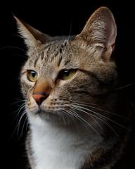 Tabi (rampx) Tags: cat neko miaw tabi tabby portrait profile lighting pentax 645z