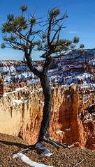 The Little Pine (Starrgalla) Tags: hoodoos hoodoo pine little geological geology sky blue orange burnt umber rocks rocky formation bryce canyon cliffside cliffs edge snow winter utah america