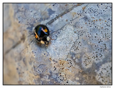 2016-06-26_Coccinelle-0005 (Hacheme 26) Tags: animaux coccinelle insecte natureetpaysages pierrelongue france
