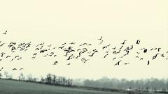 ..... in the wind (Henrik Bidstrup Jrgensen) Tags: autumn efterr migration birds fugletrk fugle lapwing vibe blst windy flying flok olympus olympuse510 denmark danmark