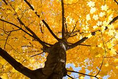 Golden jungle2_MG_1338 (CFurjanic93) Tags: pennstate pennstateuniversity trees fall fallsession stude students college collegecampus bikes sun warmth foliage sky bikerack golden yellow orange