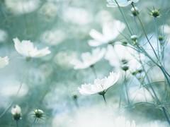 Cosmos (BUN BUKU) Tags:  flower olympusomdem5 tokinareflex300mmf63