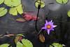 lotus (HDH.Lucas) Tags: cannon flower water lotus lucas 동형 수련 연꽃 궁남지 부여 buyeo