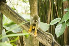 (Kunal Baweja) Tags: monkey animal animals singapore singapore2016 2016 singapoe wildlife wildlifepark wild riversafari safari travel tourism trip tourist tour worldtour ecotourism worldtravel asia asian southeastasia southeast