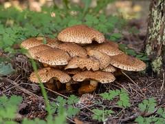 Kreischa, Kurpark, Pilze (joergpeterjunk) Tags: kreischa sachsen outdoor kurpark panasonicdmcfz200 bridgekamera pflanze pilz pilzgruppe wiese laub