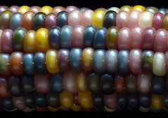 flint corn.10.2016 (michaelgoard.com) Tags: corn flint indian garden michael goard maize jardin maya aztec grain husk tamale masa plant harvest fall autumn season crop kernels seed agriculture grow silk head cob ears ear food cultivate rows