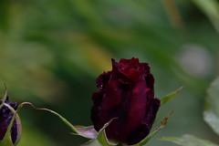 Its raining and I am cold (martinbennett460) Tags: roses winter autumn nikon d5500 tamron16300 eardiston rain redrose england bokeh flowers