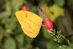 Orange-barred Sulphur - Phoebis philea (J Centavo) Tags: orangebarred sulphur phoebis philea