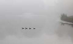 Morning Swim (chantsign) Tags: ducks family water pond morning blackandwhite lowcontrast misty reflection pale minimalist