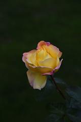 DSC_3190 (PeaTJay) Tags: nikond750 reading lowerearley berkshire macro micro closeups gardens outdoors nature flora fauna plants flowers rose roses rosebuds