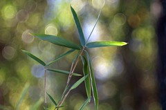 A Favorite Subject. (bamboosage) Tags: meyer optik trioplan 100 28 preset m42 germany