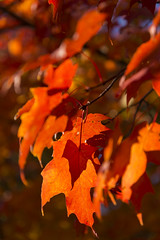 DUI_6844r (crobart) Tags: maple leaves fall colours colors