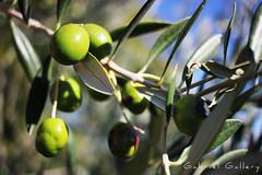 Olives (Gabri & Photograph) Tags: olives aceitunas aceite verde fresco oil spain larioja rioja olivo olive bokeh profundidad de campo deep depth field