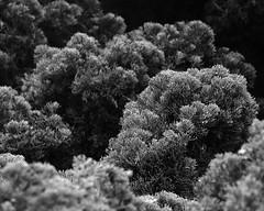 (Casey Lombardo) Tags: plants plant plantlife urbanplants shrubs shrubbery landscaping bw bwphotography blackandwhite monochrome monochromatic texture textures shadow shadows light