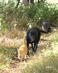 """So? Who invited the dog?"" (judecat (back with the pride)) Tags: cats dog blackdog blacklabradorretriever labradorretriever felines canine longhairedgreycat redtabby vinny raven simon"