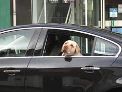 """Drive on, James"" (Beardymonsta) Tags: ixus60 dog labrador labradour car comedy look gaze chien voiture goldenretriever"