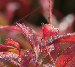 Red Drop's. (Omygodtom) Tags: raindrop red leaves season abstract art tamron90mm texture bokeh tamron outdoors wild nature natural nikon d7100 tammy w flickr dof detail digital