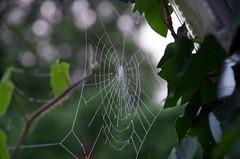 Das Gesetz ist wie ein Spinnennetz. Kleine Fliegen werden gefangen, whrend die groen das Netz zerreissen und entkommen.  Anacharsis, der Skythe  (lebte um 550 v. Chr.) (Knarfs1) Tags: spider spiders web spinnennetz bokeh mood morning morgenast baum garten garden