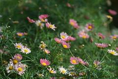 DSC03682 (oliveplum) Tags: daisy gardensbythebay tribaltempofloraldisplay flowerdome olympusomsystemzuikomcautot12f85mm sony singapore bokeh marinabay