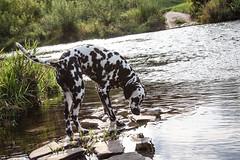Das Ungetm Wasser (blumenbiene) Tags: hund dog hunde dogs hndin female dalmatiner dalmatian schwarz weis black white gassi spaziergang water river fluss wasser