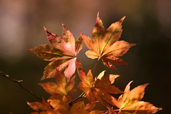 Stars of the Autumn (jasohill) Tags: autumn october color nature leaf city 2016 iwate orange red beautifu japanese hachimantai photography life vibrant japan fallen