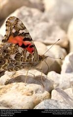 Painted Lady (Nymphalidae, Vanessa cardui) (insectsunlocked) Tags: lepidoptera nymphalidae nymphalinae vanessa vanessacardui vcardui paintedlady