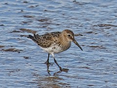 Dunlin (John Assheton) Tags: bird wader dunlin norfolkwildlifetrust nwt cleymarshes norfolk