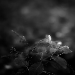 Thicket Details 020 (noahbw) Tags: captaindanielwrightwoods d5000 dof nikon abstract blackwhite blackandwhite blur bw depthoffield dreamlike dreamy flowers forest landscape leaves light monochrome natural noahbw shadow square summer woods