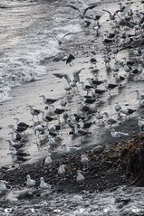5018 A Colonia de gaviotas (carlostorrebenito) Tags: algas gaviotas h mar piedras playa seaweed seagulls sea stones beach islandia 352