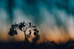 Color of autumn end (***yokoichi) Tags: ifttt 500px sunset portrait silhouette sky otus carl zeiss otus1485 autumn